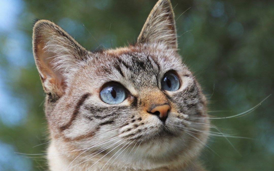Comment protéger son chat contre la piqûre des moustiques